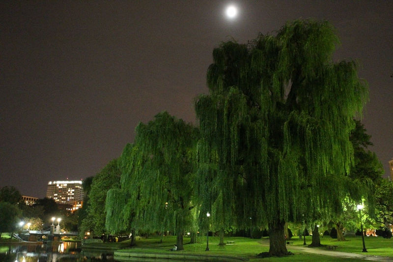 weeping willows in the public garden