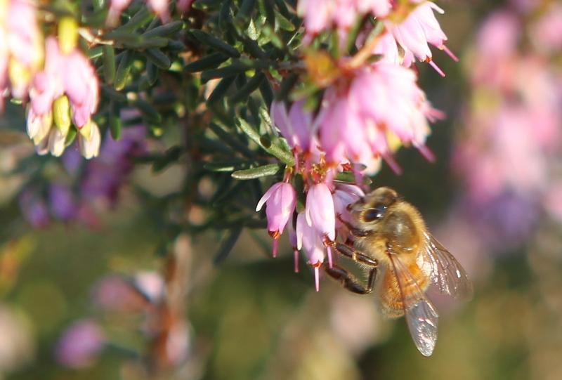 Bee on heath flower