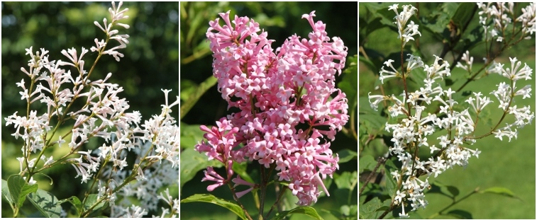 Chengtu lilac, Mary C Bingham lilac, and Felty lilac flowers