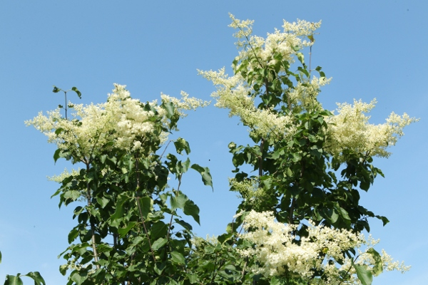 Amur tree lilac flowers
