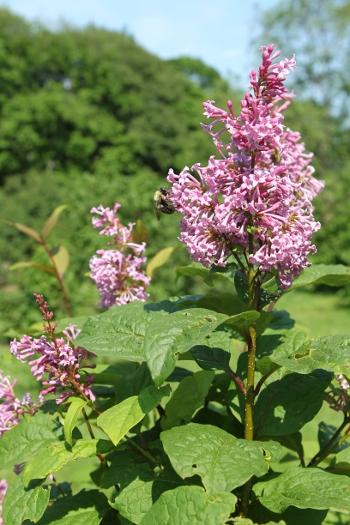 Donald Wyman Lilac flowers
