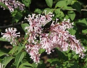 Swegiflexa lilac flowers