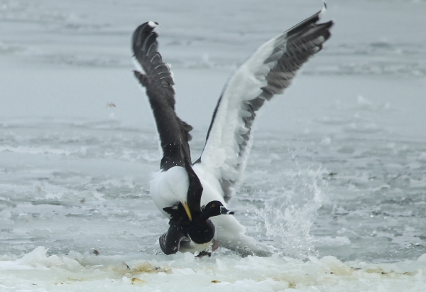 Gull grabs duck and attacks it.