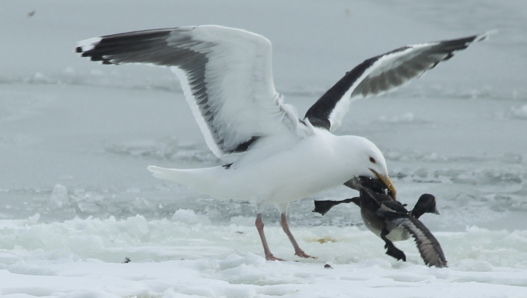 The gull grabs the duck by a wing.