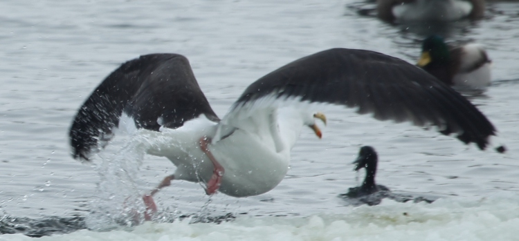 Gull dives at duck in water