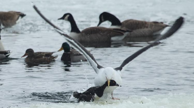 The gull dracks the duck back onto the snow