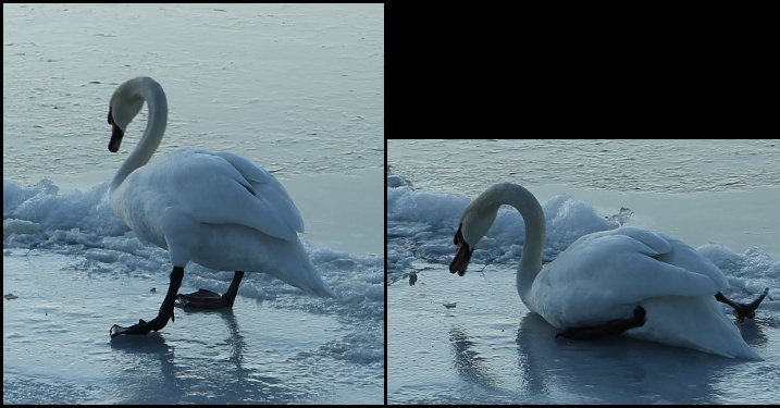Mute swan slips on ice