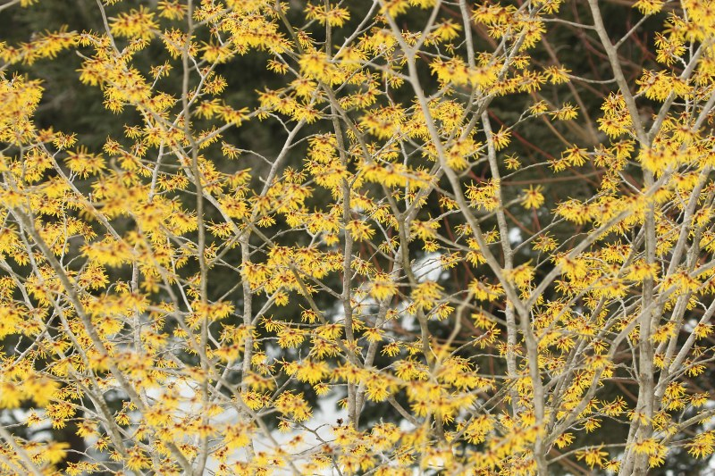 Chinese witch-hazel