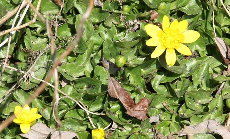 Lesser Celandine in flower