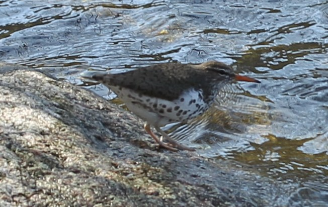 Spotted sandpiper by the banks of Jamaica Pond