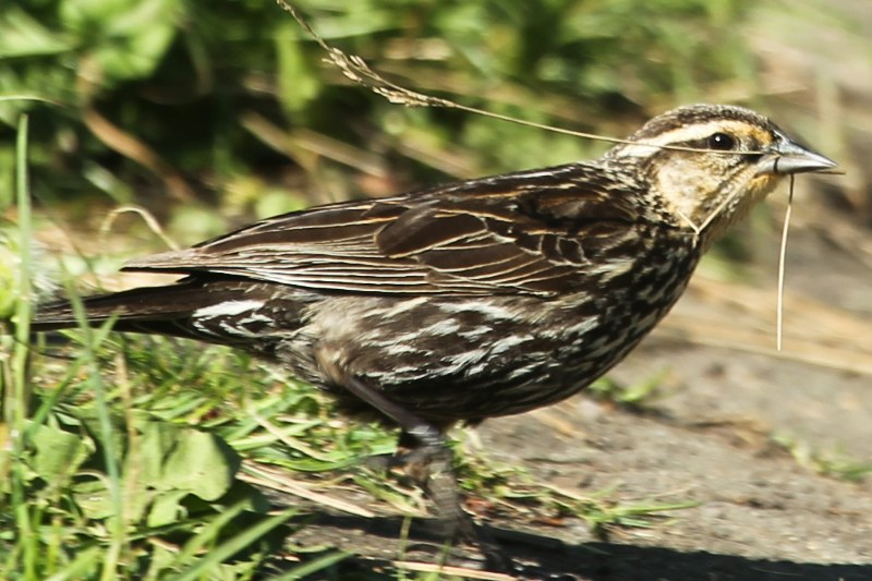 Female red-winged blackbird holding straw in her beak