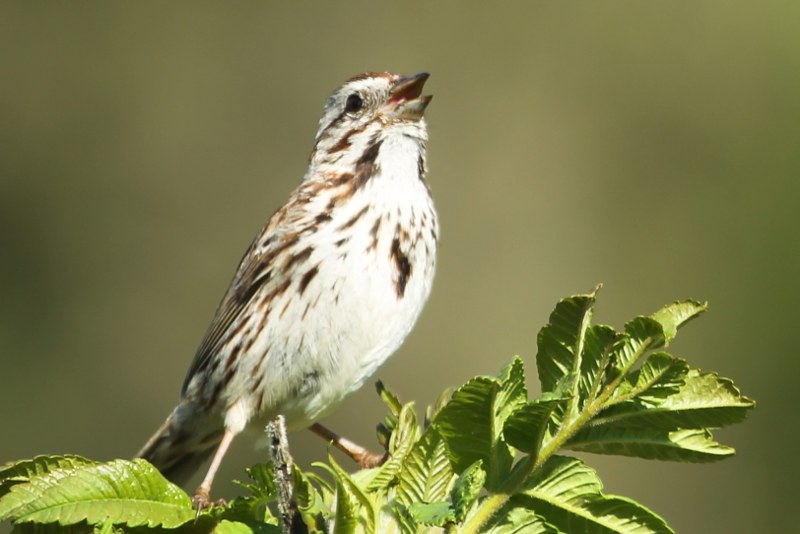 Song sparrow singing