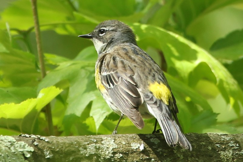 Yellow-rumped warbler showing its yellow rump patch