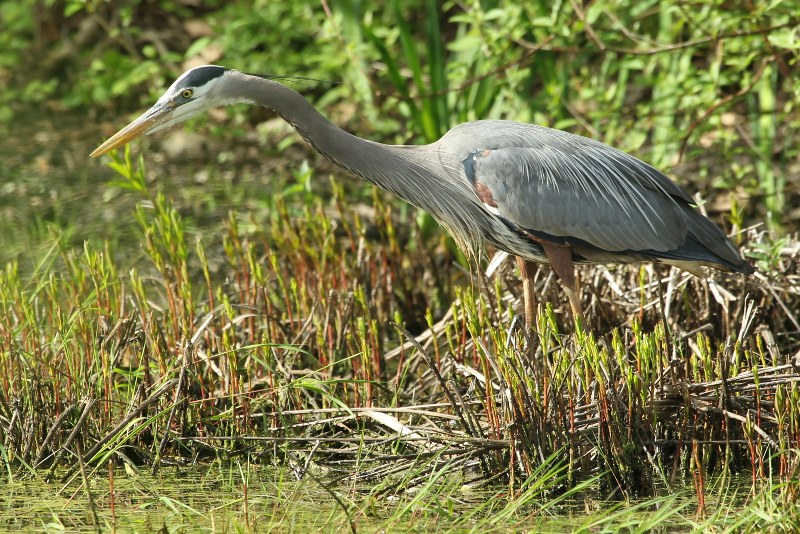 Great blue heron in one of the ponds