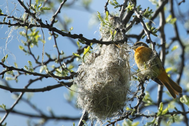Baltimore oriole building her nest