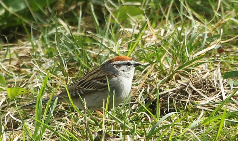 Chipping Sparrow in grass