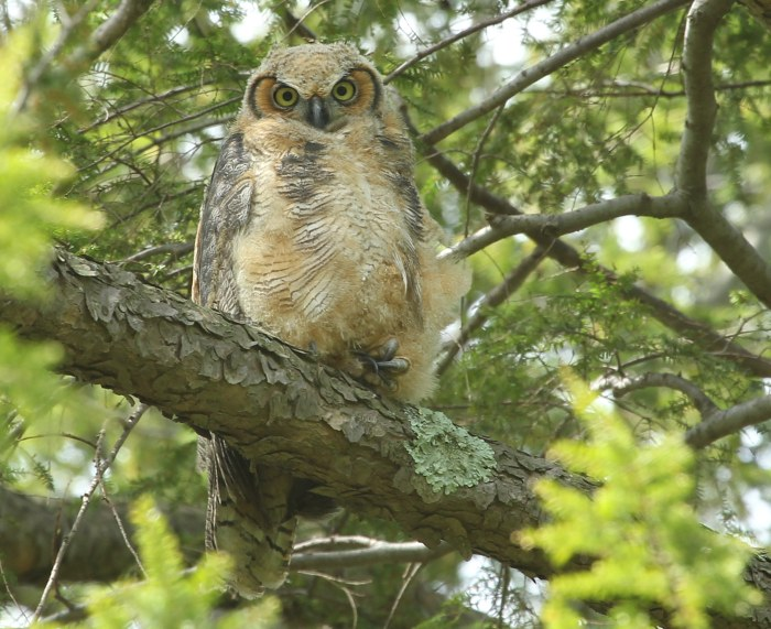 Great horned owl resting on a hemlock branch