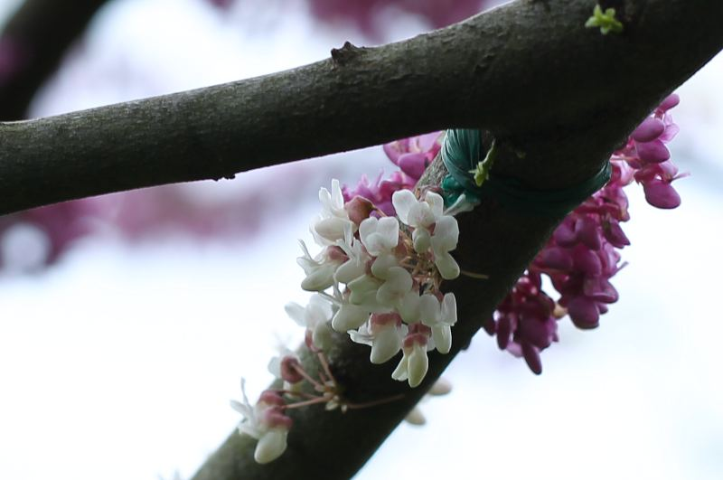 white and reddish-purple flowers on the same eastern redbud branch
