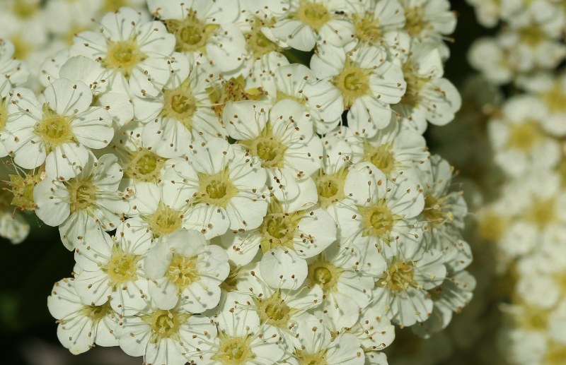 Wilson's spiraea flowers