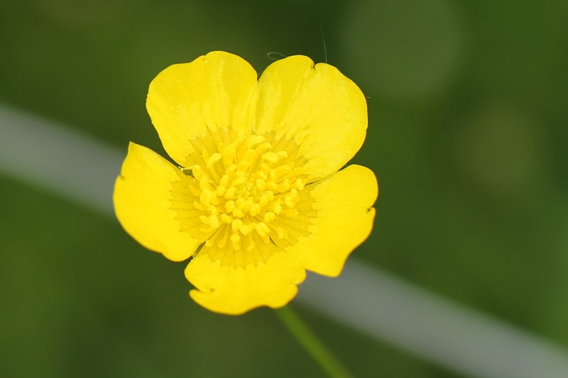 Yellow five-petaled flower of tall buttercup