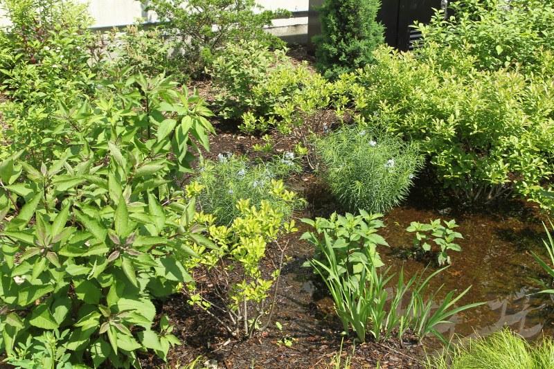 Dewey Square rain garden plants