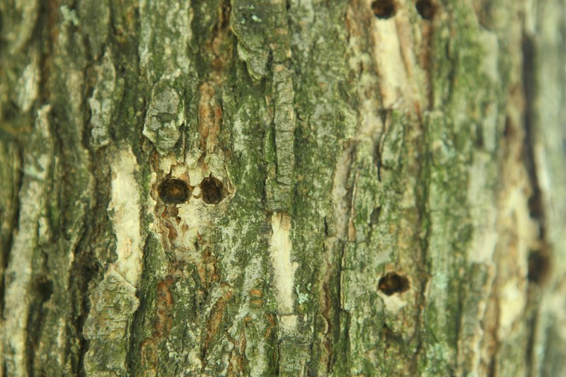 American elm with sapsucker holes