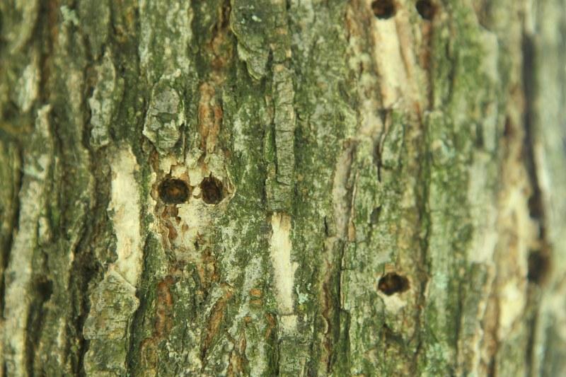 American elm with sapsucker holes