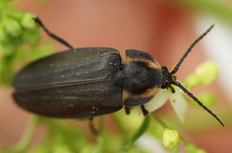 Diurnal firefly