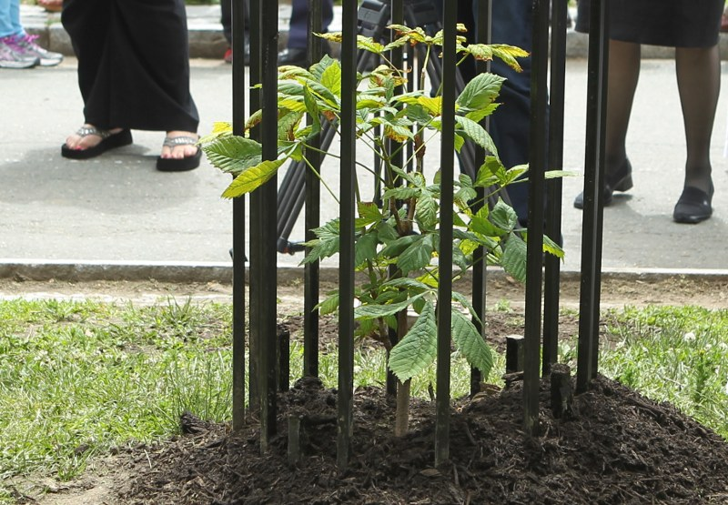 Horse chestnut sapling planted