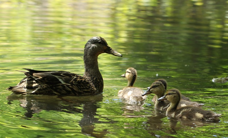 A mother mallard duck with some of her dozen ducklings