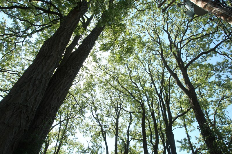 Black locust grove along Lamartine St, looking up at the canopy