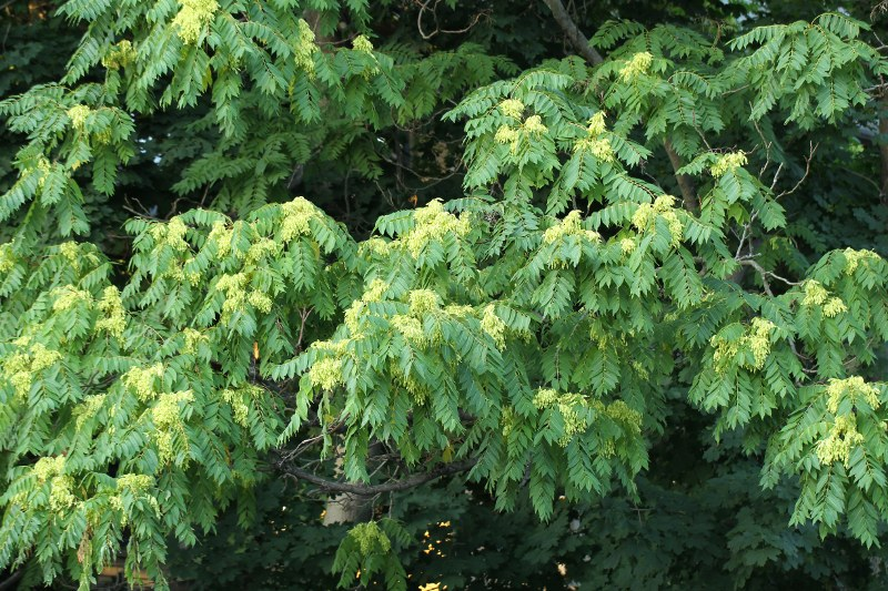 Ailanthus with green fruit