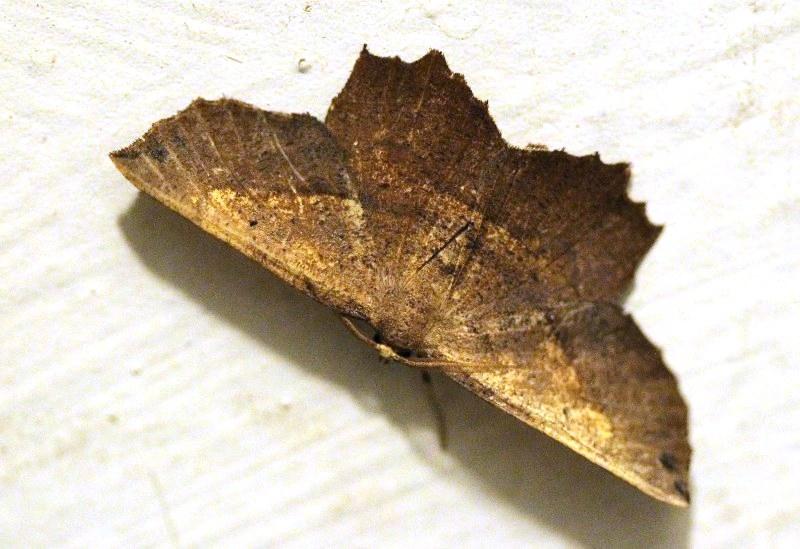 Euchlaena moth