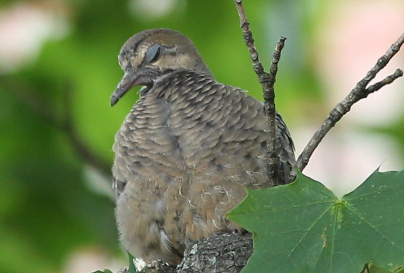 Mourning dove blinking