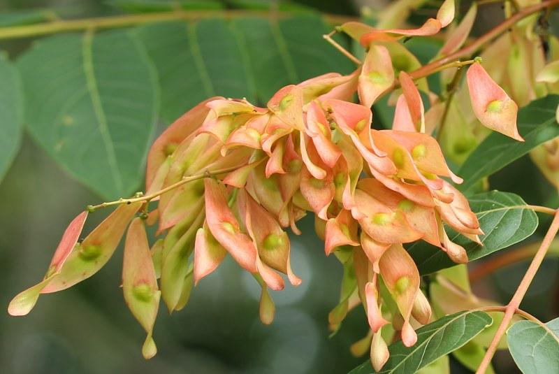 Reddish Ailanthus seeds
