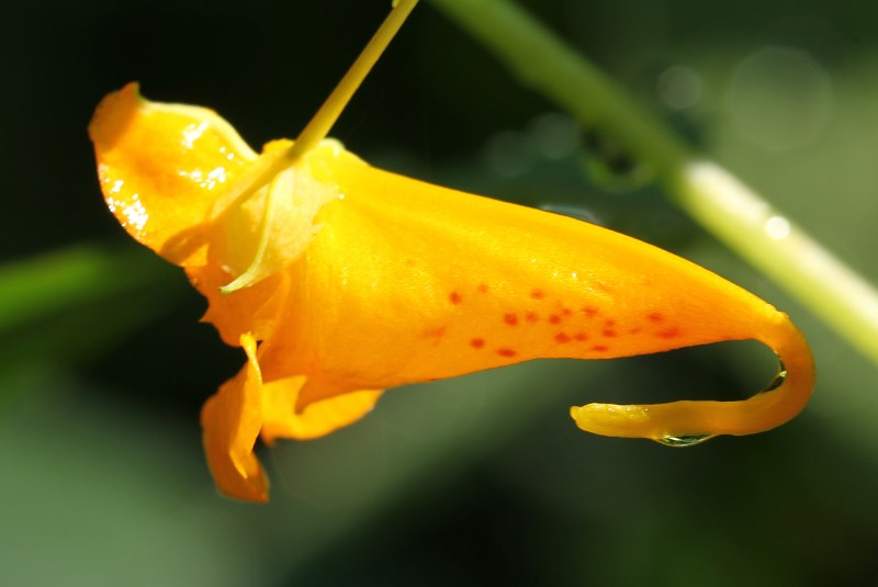 Jewelweed flower
