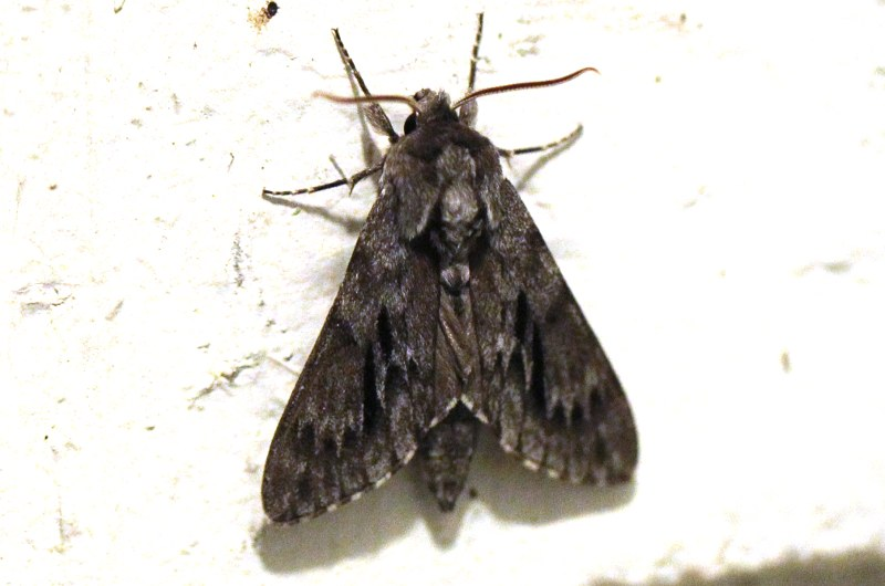 Northern pine sphinx moth