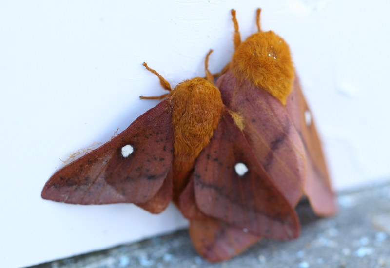 Orange tipped oakworm moths