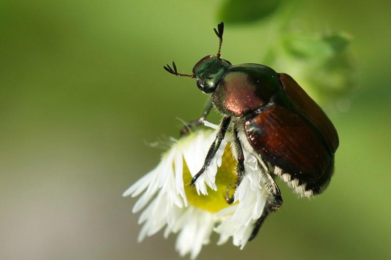 Japanese beetle