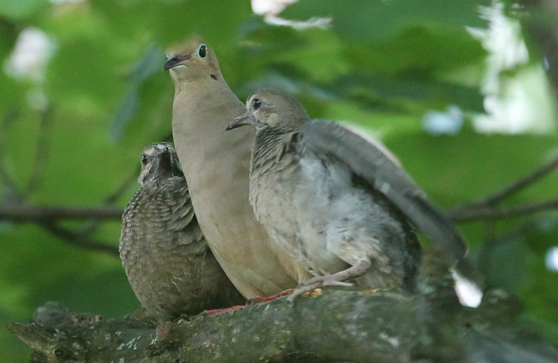 Mourning doves on alert