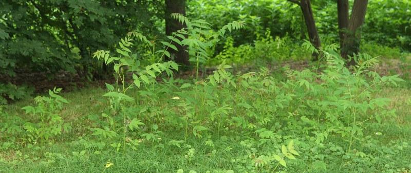 Ailanthus suckers