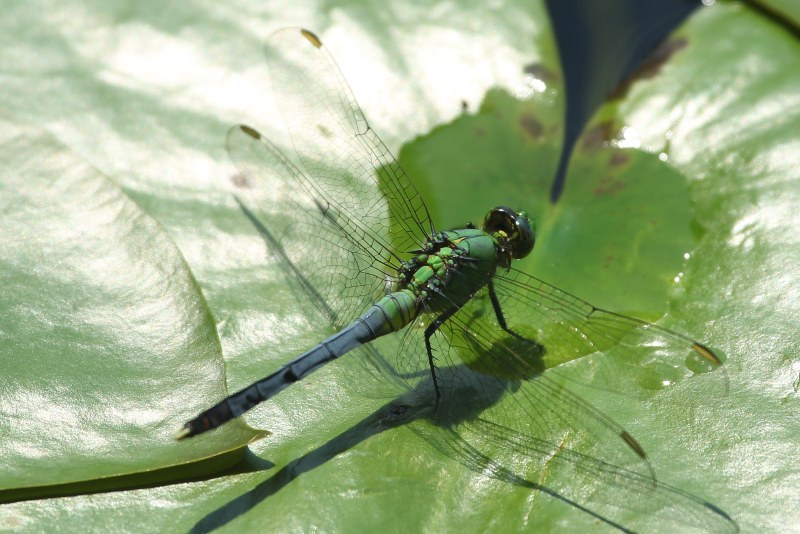 Common pondhawk