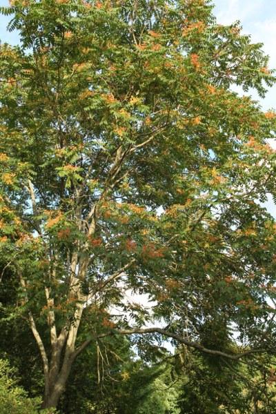 Ailanthus altissima form erythrocarpa