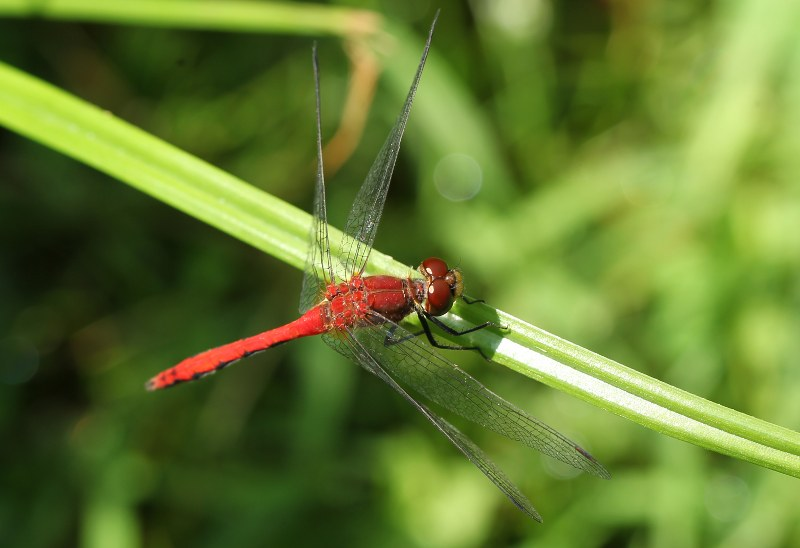 Male meadowhawk dragonfly
