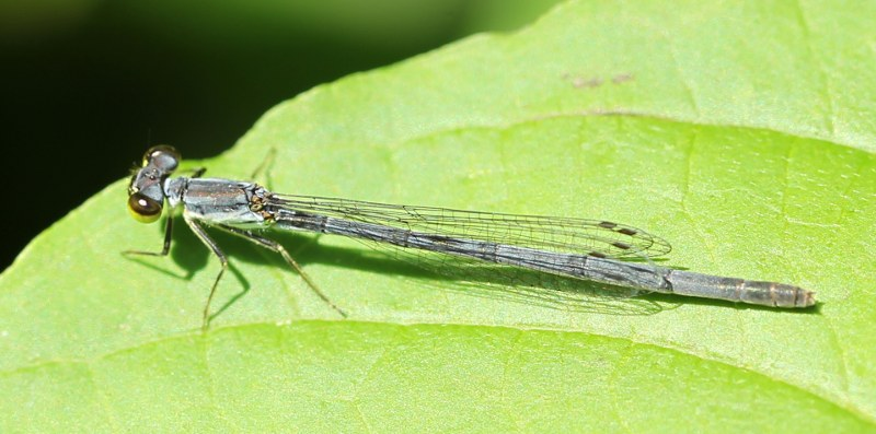 Old female eastern forktail damselfly