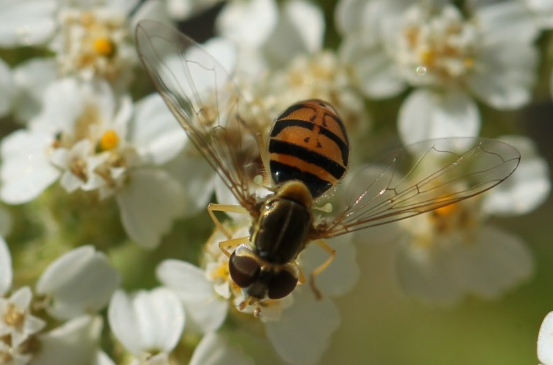 Hoverfly on yarrow flowers