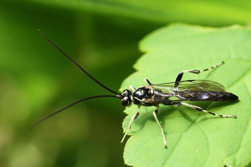 Cratichneumon wasp