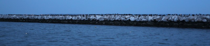 Cormorants on sea wall