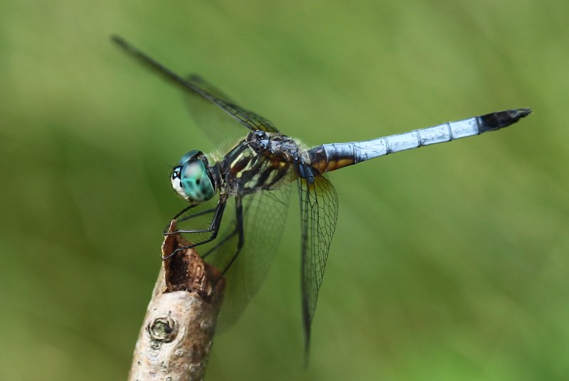 Male blue dasher at rest