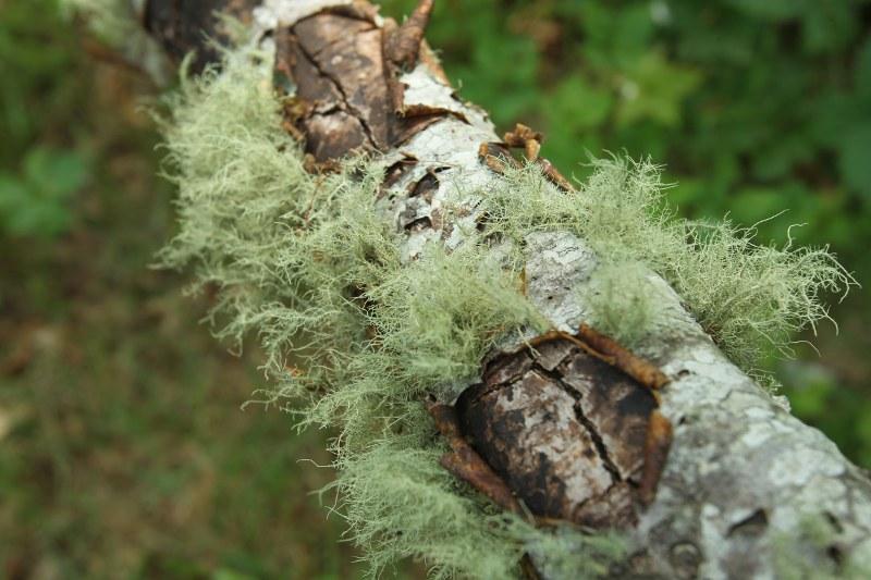 Lichen on a tree trunk